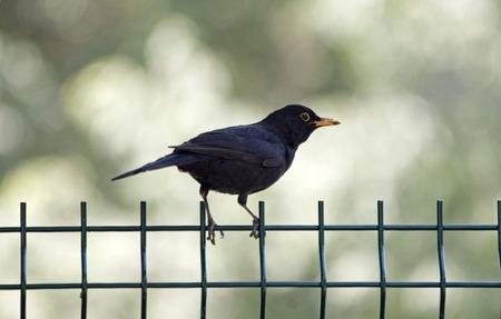 turdus: Turdus merula or common blackbird on a fence Stock Photo