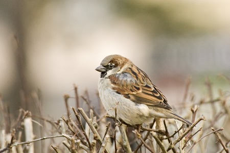 passer by: Beautiful house sparrow or Passer domesticus Stock Photo