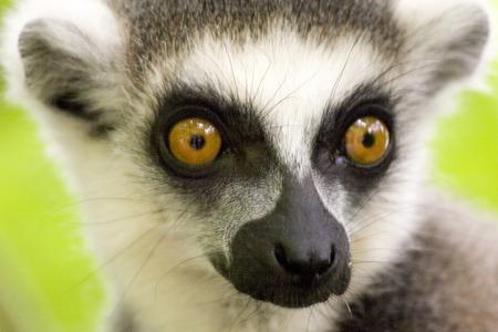 Lemur catta or ring-tailed lemur up close