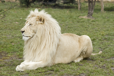 white lion: White lion or Panthera leo krugeri