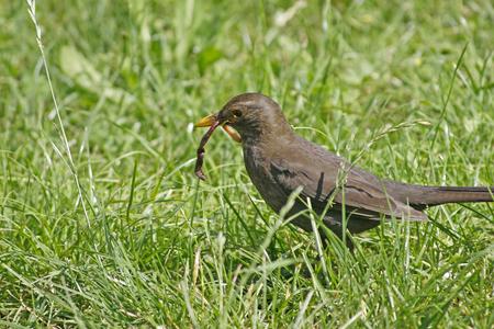 turdus: Turdus merula or common blackbird carrying worms
