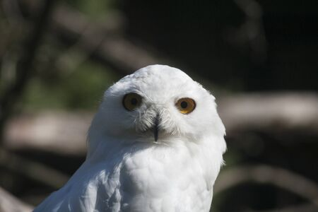 Snowy owl or Bubo scandiacus is a beautiful white owl with big yellow eyes. Looking straight into the camera.