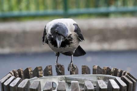 Hooded crow or Corvus cornix in the urban environment looking for food. Crow`s natural behavior influenced by human actions.