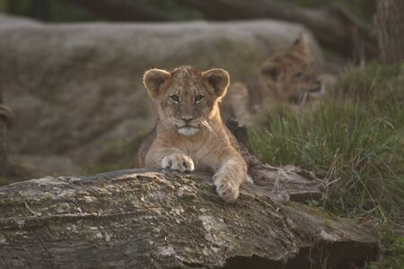 Baby lion looking in the camera. Little king of the jungle is posing for the crowd in a zoo.