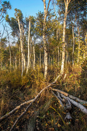 White birch forest photo