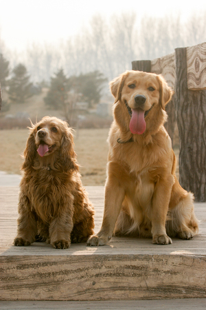 english cocker spaniel: Purebred Golden Retriever dog and English Cocker Spaniel dog portrait  in outdoors