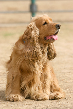english cocker spaniel: Purebred  English Cocker Spaniel dog portrait  in outdoors Stock Photo