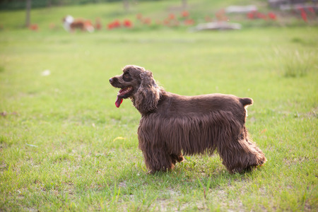 american cocker spaniel: Purebred American Cocker Spaniel dog isolated  in outdoors