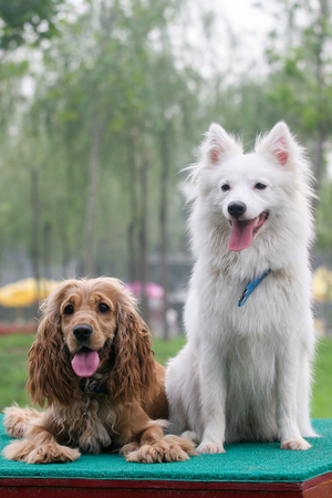 english cocker spaniel: Purebred  Japanese Spitz dog and English Cocker Spaniel portrait  in outdoors Stock Photo