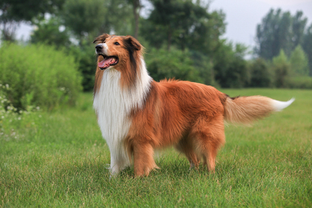 Purebred Rough Collie dog portrait  in outdoors Stock Photo