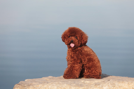 purebred: The  purebred poodle dog portrait  in outdoors Stock Photo