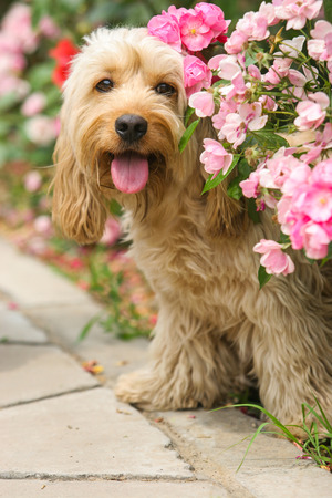 Mixed Cocker Spaniel dog portrait  in outdoors Stock Photo - 53966030
