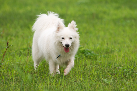 Purebred Japanese Spitz dog portrait in outdoors