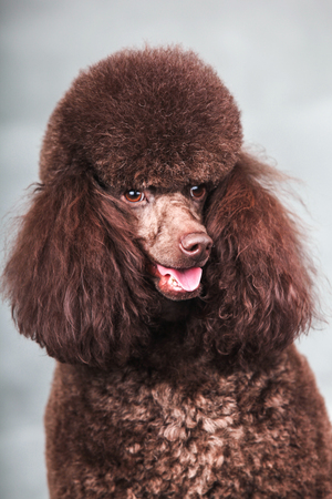 purebred: The Purebred  poodle dog isolated  in studio.