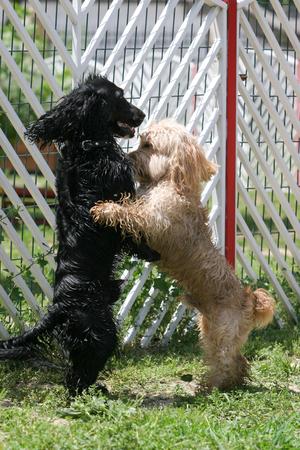perros jugando: Dos perros mezclada que juegan al aire libre en el retrato