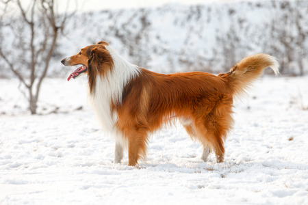 purebred: Purebred Rough Collie dog portrait  in outdoors Stock Photo