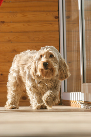 cocker spaniel: Mixed Cocker Spaniel dog portrait  in outdoors