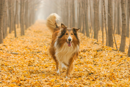 Purebred Rough Collie dog portrait  in outdoors 版權商用圖片