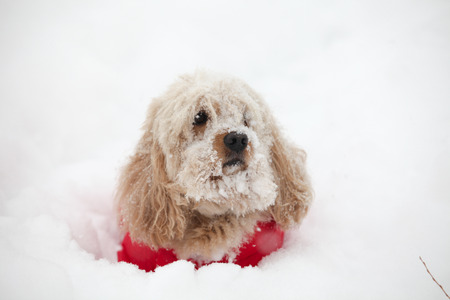 cocker: Mixed Cocker Spaniel dog portrait  in outdoors