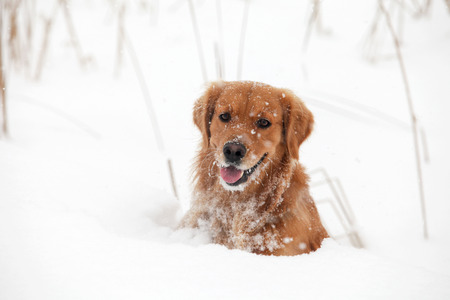 purebred: Purebred Golden Retriever dog portrait  in outdoors