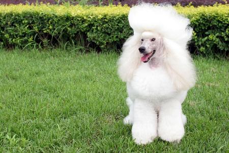 purebred big poodle dog portrait 版權商用圖片