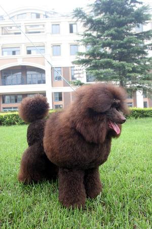 purebred: purebred big poodle dog portrait Stock Photo