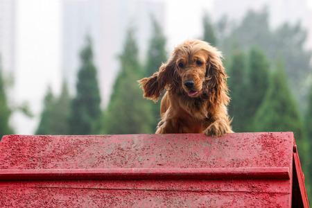 Purebred  English Cocker Spaniel dog portrait  in outdoors Stock Photo