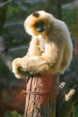 sumatra: Eastern Black Crested Gibbon