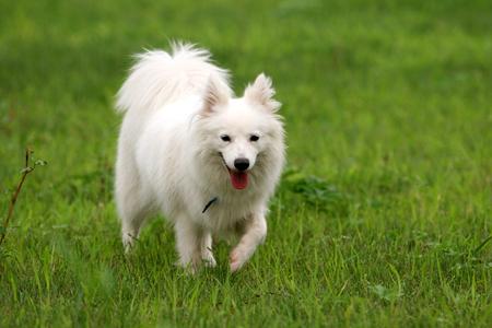 purebred: Purebred Japanese Spitz dog portrait in outdoors