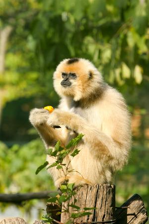 eastern: Eastern Black Crested Gibbon
