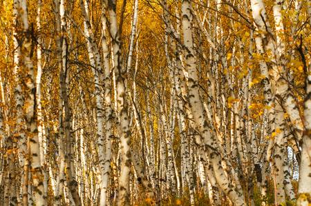 birch trees: birch trees in autumn