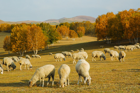 glades: sheep herd in mountains during autumn