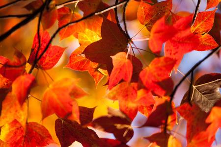 Red and Orange Autumn Leaves Background 版權商用圖片