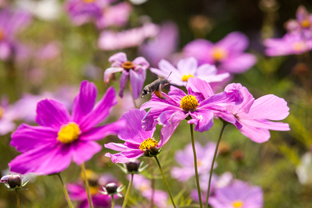 Pink Cosmos flowers Stock Photo