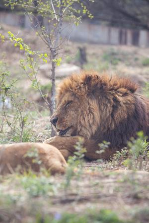 Lion sleeping on zoo grounds