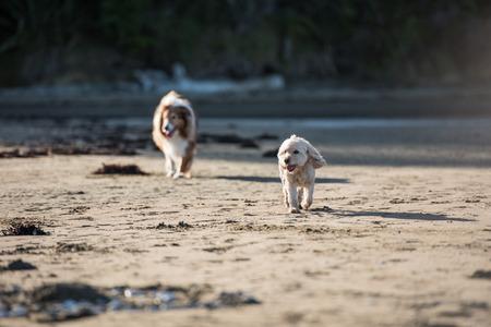 perros jugando: Dos perros adultos que juegan en la playa Foto de archivo