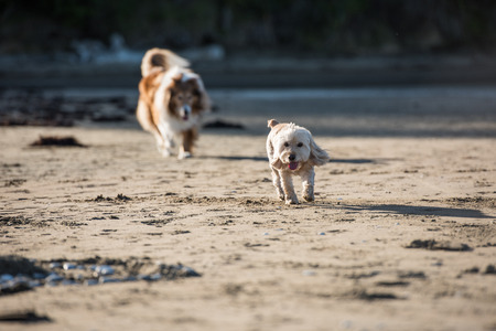 perros jugando: Two adult dogs playing at the beach