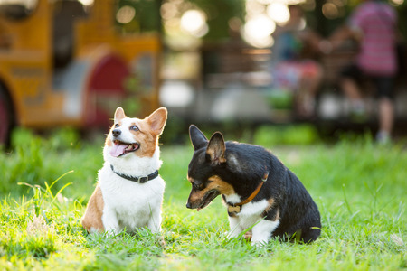 An adult welsh corgi pembroke play in the park Stock Photo - 64291203