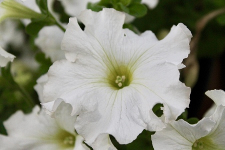 White petunia flower Stock Photo