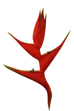 흰색 배경에 Heliconia 꽃