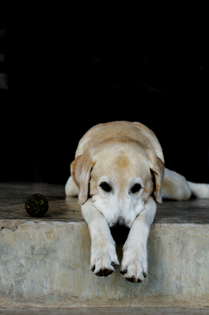 Yellow Labrador lay down on the concrete floor and waiting to play with black background for copy space. Stock Photo