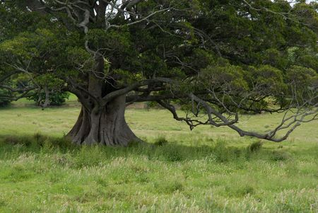 large tree: Large tree in a field.