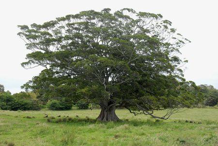 Beautiful old tree alone in a farmers field.