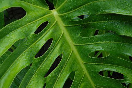 Tropical Plant After Rain