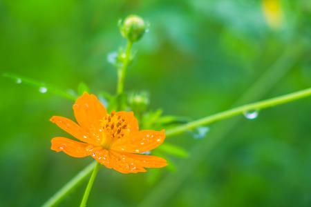 glistening: Flor del cosmos, flor de naranja con roc�o o gotas de lluvia brillaban en los p�talos en contra despu�s de la lluvia