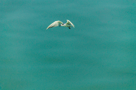webbed foot: Flying seagull over sea.
