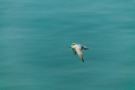 webbed: Flying seagull over sea.