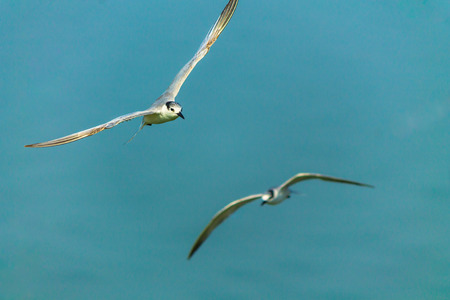 webbed foot: Flying seagulls over sea.