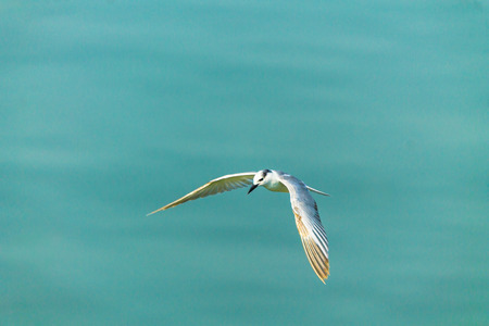 Flying seagull over sea.
