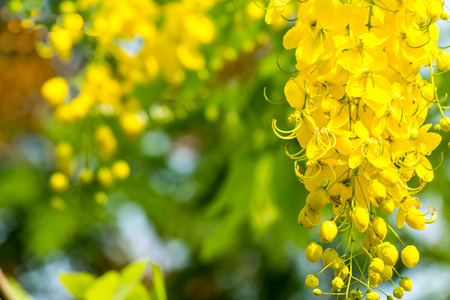 fistula: Golden shower burgeon on every summer. Stock Photo